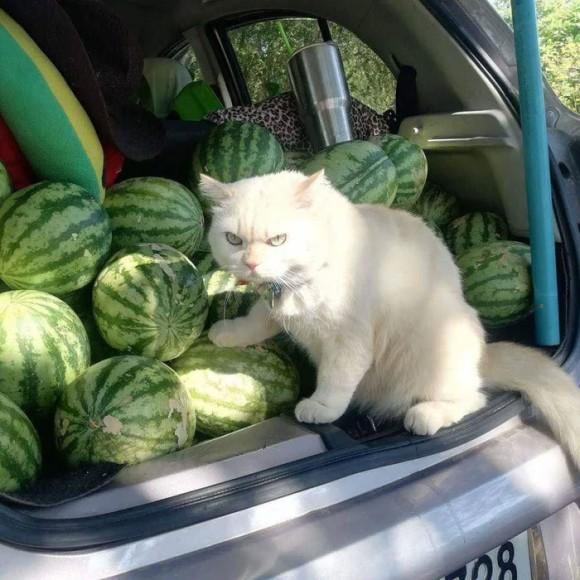 「スイカは絶対に守るニャ!」スイカ監視員としての猫、完璧な警備(タイ)