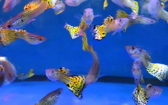 魚にも個性がある。科学者がグッピーに試練を与えたところ個体差があることが判明(英研究)