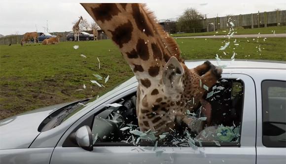 サファリパークでキリンが観光客の車の窓を粉砕!大惨事となったその理由は?(イギリス)