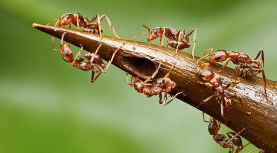 こいつはとんだハニートラップ。甘い樹液でアリを一生奴隷にする恐ろしい植物「アカシア」