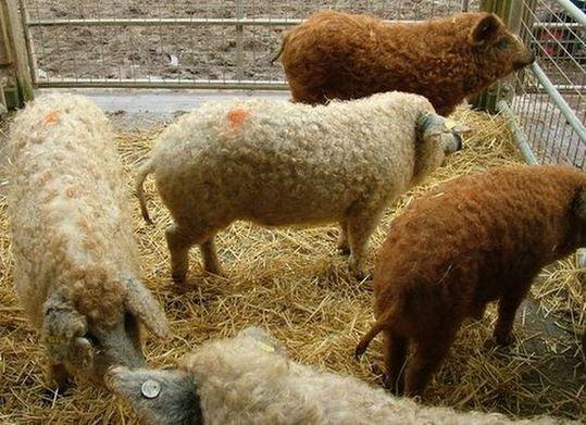 sheep_pigs_07