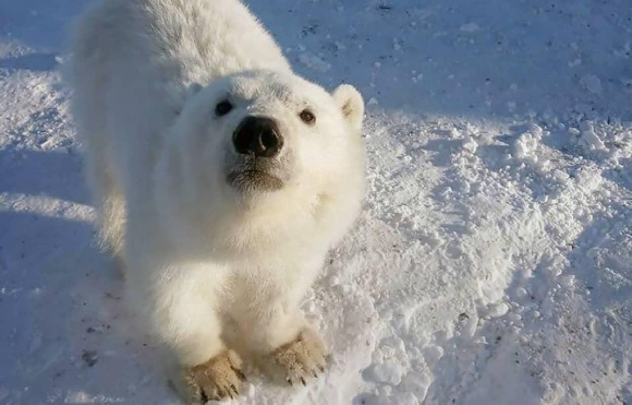 母親を亡くしたホッキョクグマの子、炭鉱作業員に救助され、子犬のようになつく(ロシア)