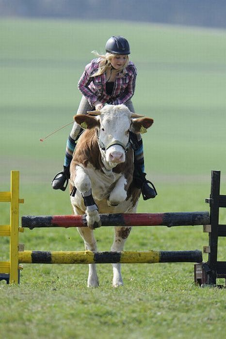 amazing_show_jumper_cow_01