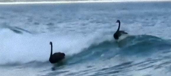 ちょっとかっこいいぞ!ブラックスワン(黒鳥)がゴールドコーストで波乗りをたしなむ