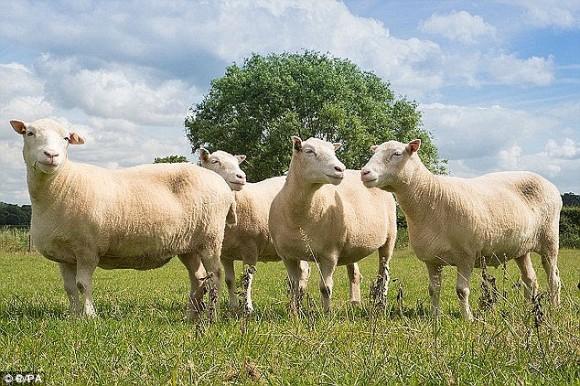 世界初の哺乳類クローン羊、ドリー生誕20周年を迎える。同じ細胞系統から作成されたクローン姉妹4匹は安楽死へ