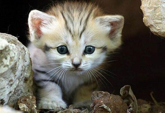 sand_cat_kitten_07