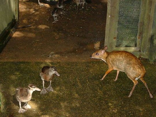 mouse_deer_01