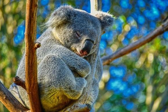 koala-4721677_640_e