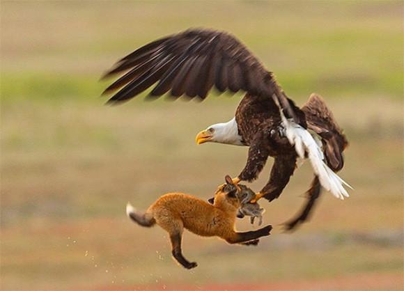 ウサギを捕獲した子キツネを瞬時につかみ去るハクトウワシの狩りの瞬間を撮影した動画と写真
