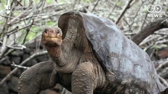 種の絶滅を救った推定100歳の絶倫亀、一代で800匹を超える子孫を残し引退へ(ガラパゴス諸島)