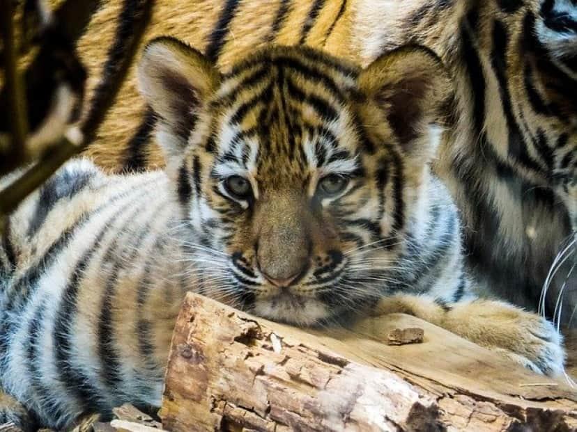 tiger-936304_640