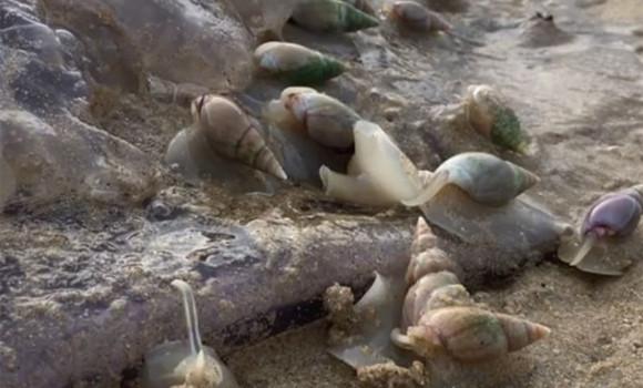これどんなエイリアン物語だよ!巨大クラゲをむさぼり食う貝の集団 (南アフリカ)