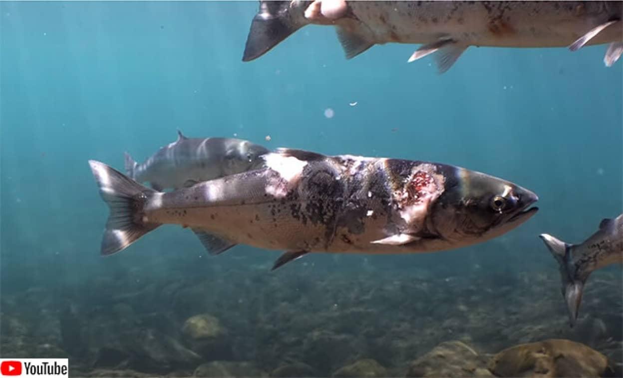 熱波により水温が上がり体に異変をきたす鮭