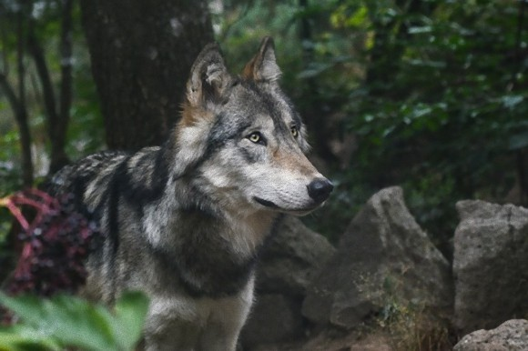 wolf-2782626_640_e_e