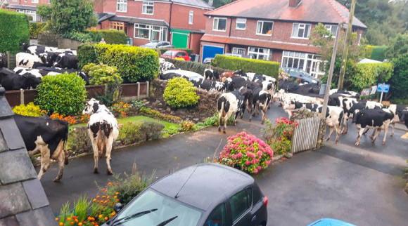 朝目覚めたら自宅が牛の軍団に包囲されていた件(イギリス)