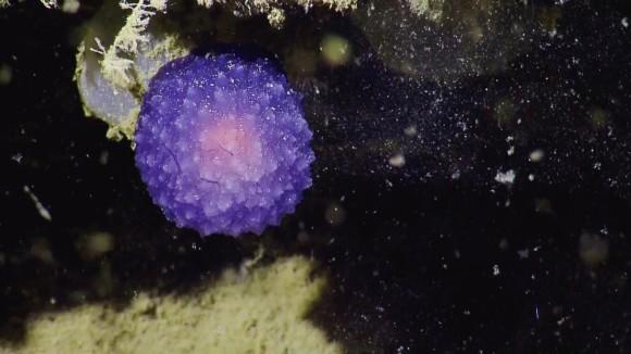 何この紫色のでかいコンペイトウみたいやつ。カリフォルニアの海底で謎の有機球体が発見される(アメリカ)