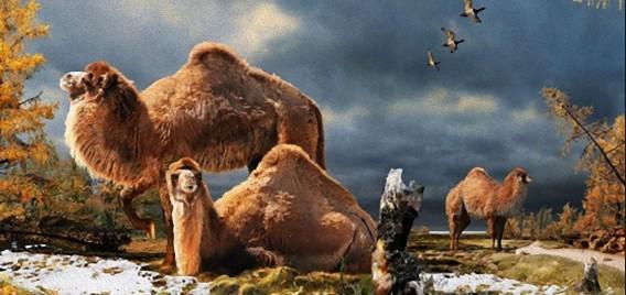 ラクダは北極圏が発祥の地?北極圏で350万年前の巨大ラクダの化石が発見される(カナダ研究)