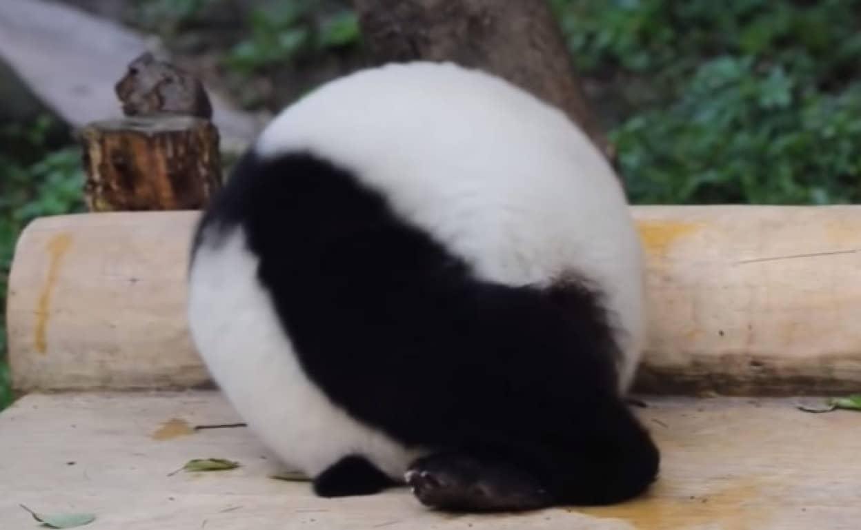 飼育員の気を引こうと丸まって転がるパンダ