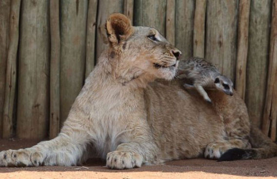 best_buddies_lion_640_04