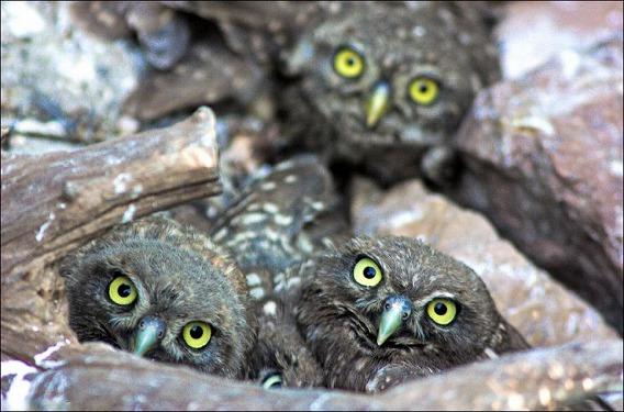 baby-owls-03