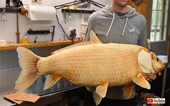 巨大金魚かと思ったら...「ビッグマウスバッファロー」の変異種が捕獲される。推定年齢100歳以上(アメリカ)