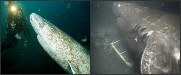 メガロドンは現存する!という動画が拡散。だがそれはデマだったことが判明。実際には日本で目撃されたオンデンザメ