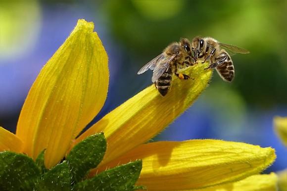 親はオス2匹。母親のいないミツバチが発見される。ハチの雌雄モザイクの不思議(オーストラリア研究)