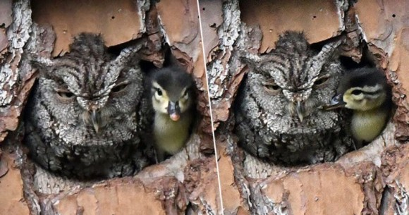 フクロウ母さんとカモのヒナ赤ちゃんが、本物の親子のように仲良く1つの巣箱に!いったい何が起きている?(アメリカ)