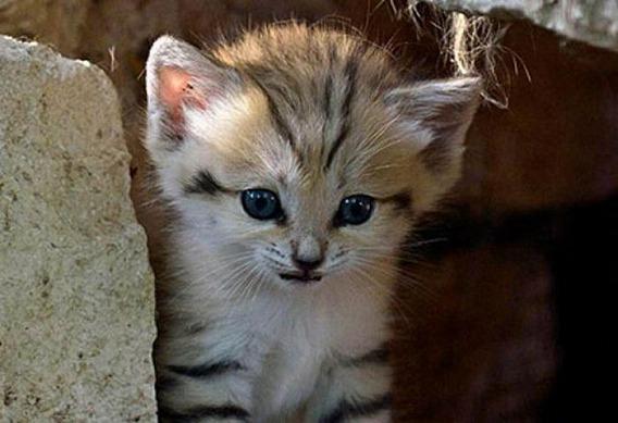 sand_cat_kitten_13