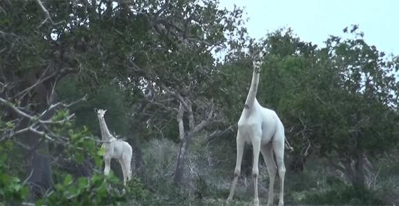 何と美しく神々しい。真っ白なキリンの親子の個体が確認される(ケニア)