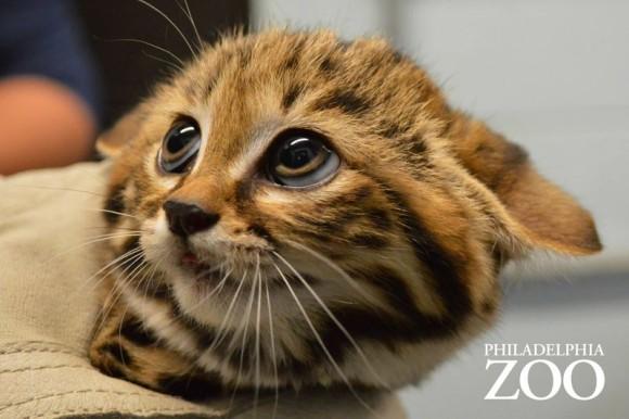 ニヤニヤが止まらない。世界最小クラスの猫、クロアシネコの赤ちゃんが一般公開に(米フィラデルフィア動物園)