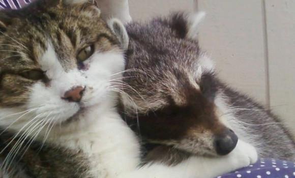 老猫が唯一心を開いたのはアライグマだった。おじいさん猫はアライグマが野生に戻るその日までずっと支え続ける