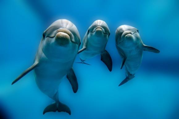 イルカの薬物使用疑惑。イルカはフグの毒を使ってハイな気分になっている。