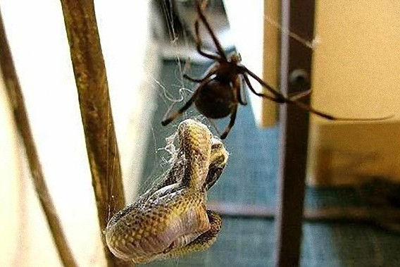 south_african_spider_catches_and_eats_the_snake_640_03_e