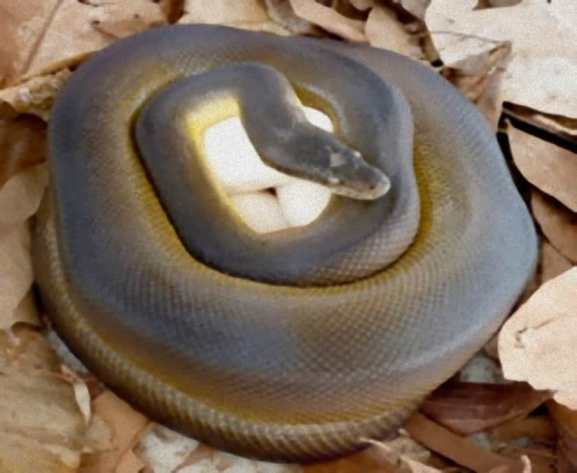 python_brooding_e