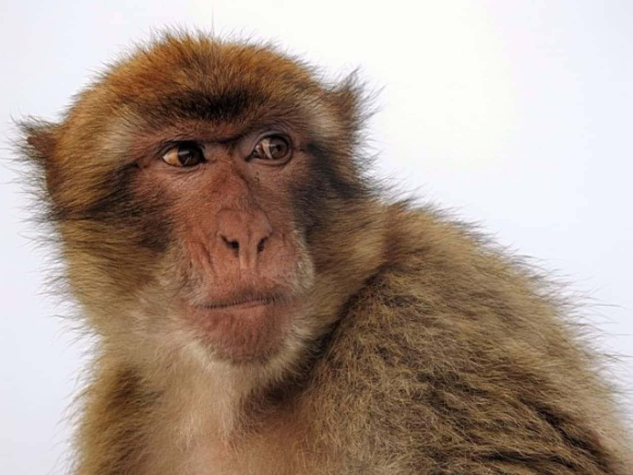macaque-2356378_640_e