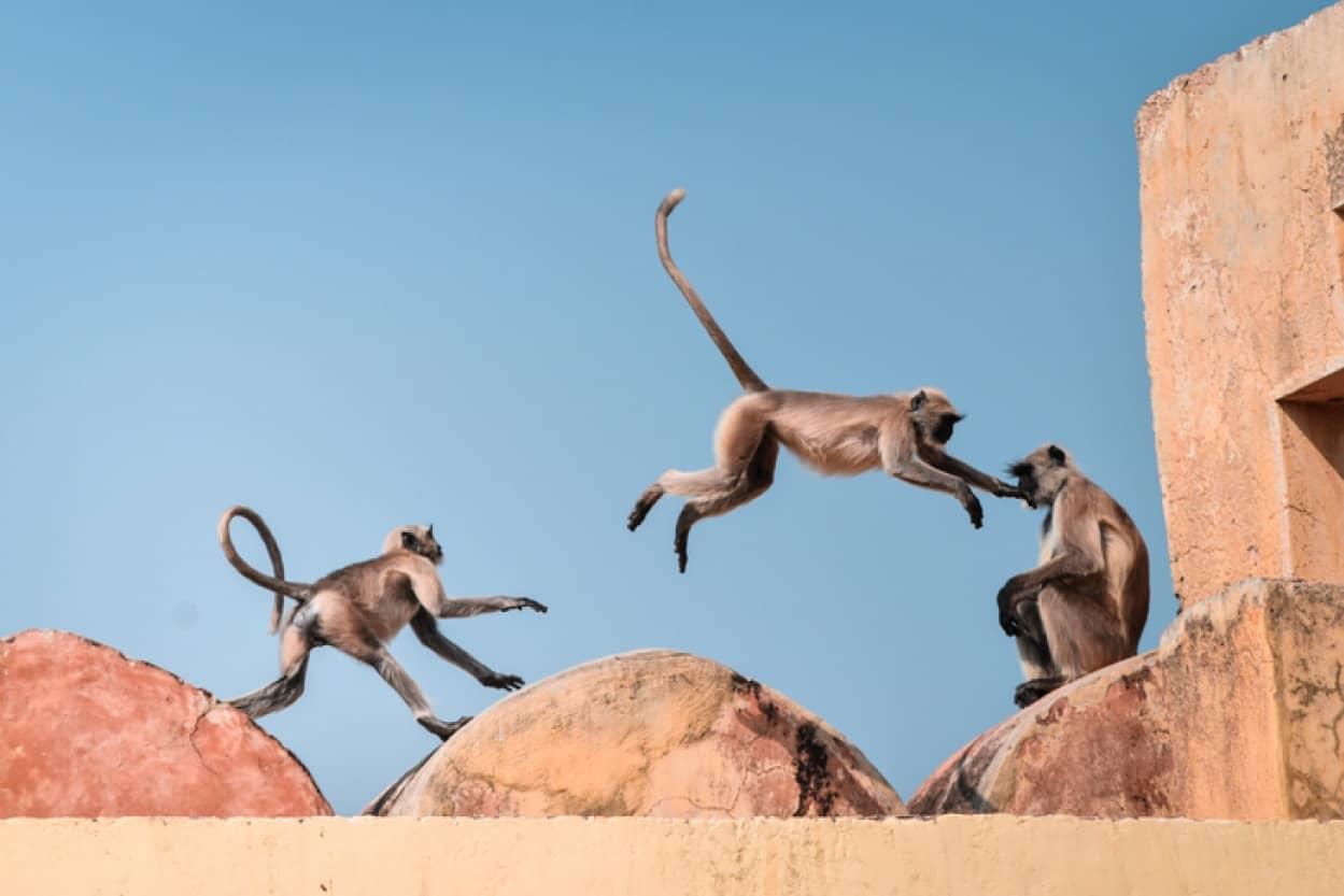 サルがコロナ強奪