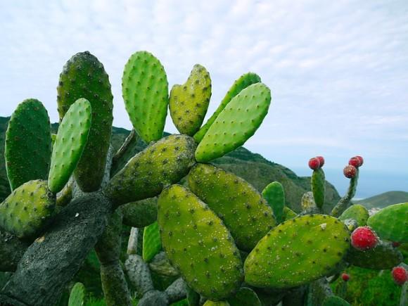 prickly-pear-1501307_640_e