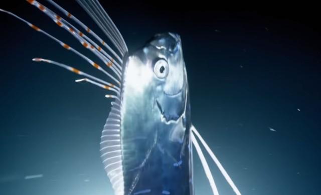 伝説の深海魚、リュウグウノツカイがダイバーの近くにやってきた!幸せのランデヴー