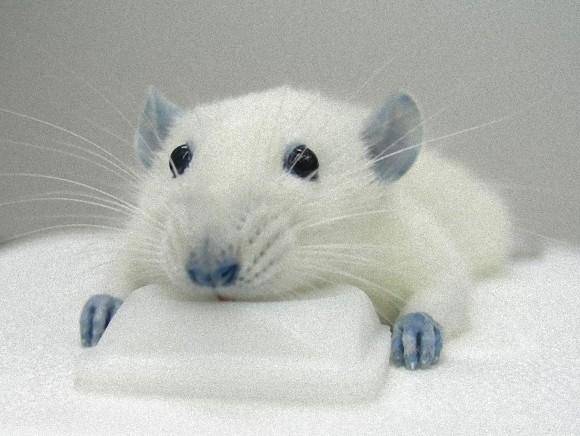 食用色素「青色1号」で神経炎症が緩和されることが判明。ただし副作用として体が青くなる