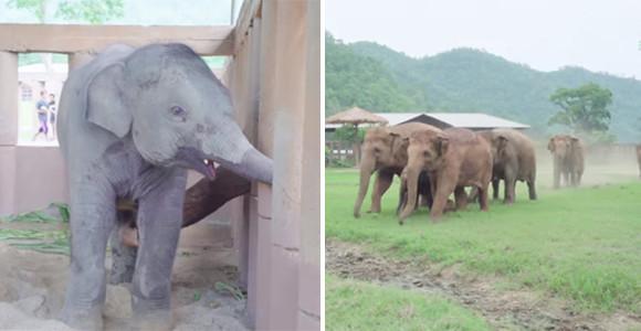 孤児の赤ちゃんがやってきた時のゾウたちの反応がやさしすぎて感動が止まらない(タイ)