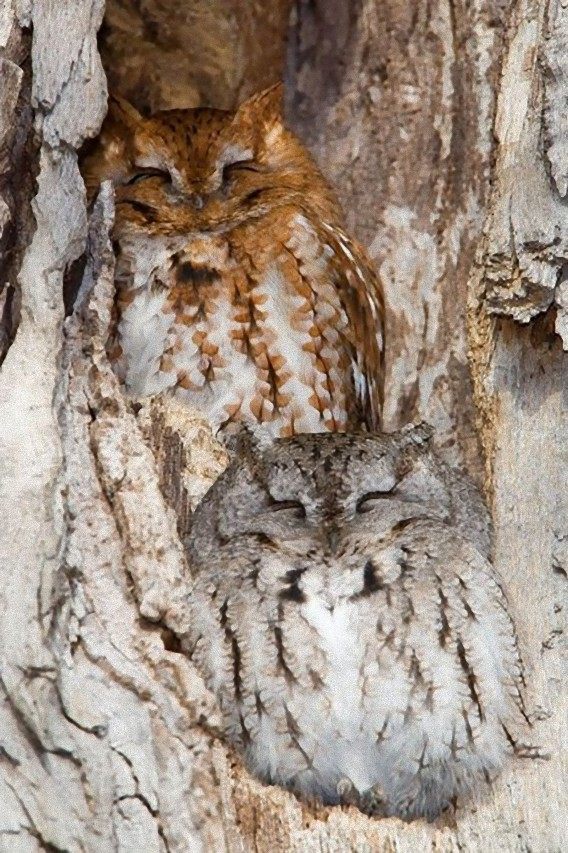 camouflaged_owls_10_e