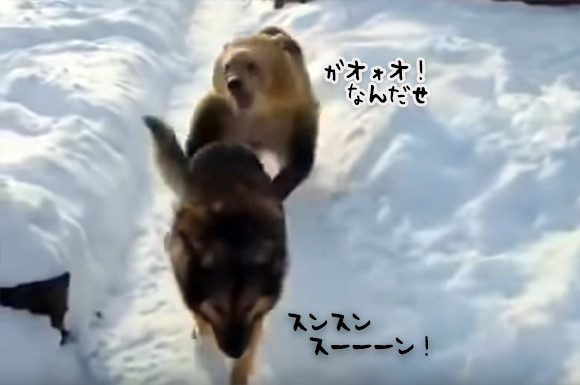 雪道で犬がクマとエンカウント!クマに手を出されても追いかけられてもまったく動じない犬のド根性