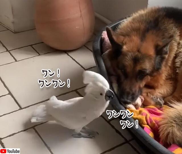犬の鳴き声で犬を起こそうとするタイハクオウム