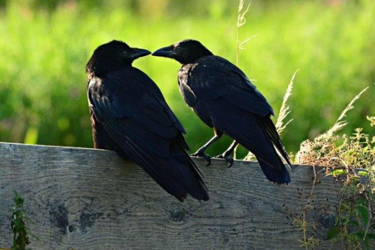 black-crow-4356185_640_e