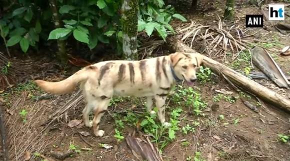ひらめいた!農作物を猿に荒らされ困っていた農民たち、犬を虎模様にペイント。なんと効果あり!(インド)