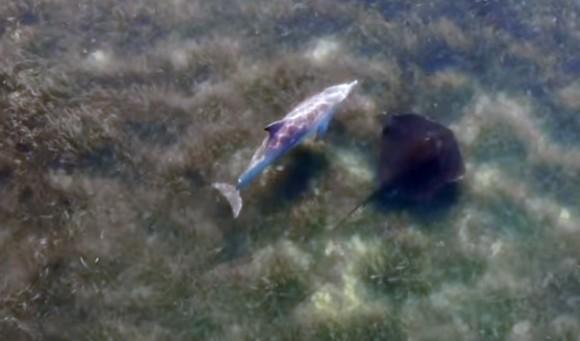 仲良しやないけ!イルカとエイのベストフレンズ