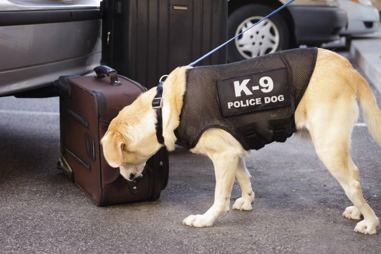 大麻の合法化が進むアメリカで麻薬探知犬が職を失う危機