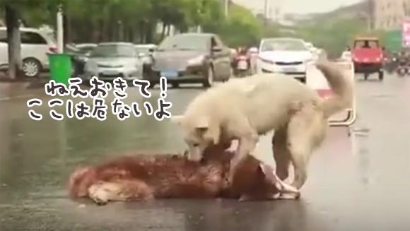 悲しさが止まらない。「ねえ起きて!ここにいたら危ないの」車にひかれた犬のそばから離れられず励まし続けた犬