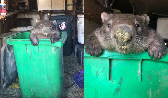 野生に返したはずなのに...元保護ウォンバット、たびたび施設に戻ってきては餌箱にダイブ(オーストラリア)